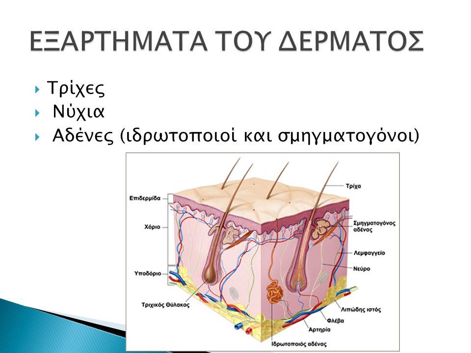  προστατευτική λειτουργία  αισθητήρια λειτουργία  θερμορυθμιστική λειτουργία  μεταβολική λειτουργία  απεκκριτική και απορροφητική λειτουργία  ενδοκρινής λειτουργία  ανοσοποιητική λειτουργία  κερατινοποίηση  παραγωγή μελανίνης