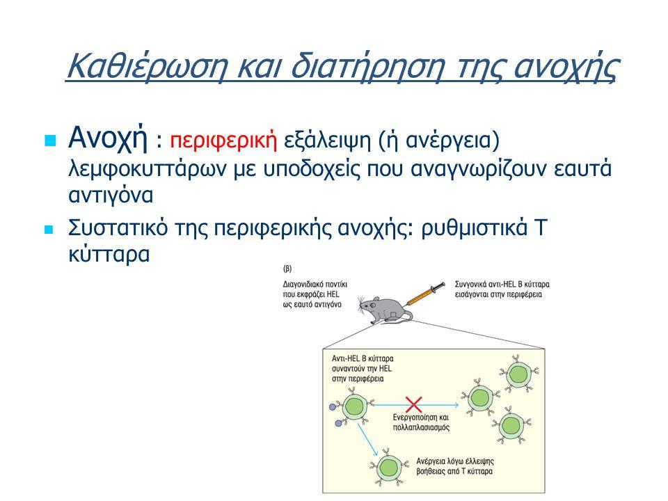 Καθιέρωση και διατήρηση της ανοχής Ανοχή : περιφερική εξάλειψη (ή ανέργεια) λεμφοκυττάρων με υποδοχείς που αναγνωρίζουν εαυτά αντιγόνα Συστατικό της περιφερικής ανοχής: ρυθμιστικά Τ κύτταρα