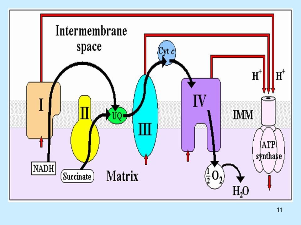 12 Αναγωγάση NADH-ουβικινόνης (σύμπλοκο I) NADH + H + + CoQ + 4H + → NAD + + CoQH 2 +4H +