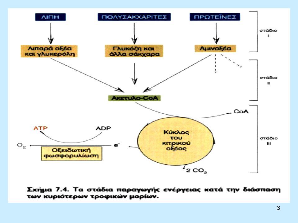4 Οξειδωτική φωσφορυλίωση Κατά την οξείδωση της ακετυλομάδας του ακετυλο- CοΑ σε C0 2, μέσω των αντιδράσεων του κύκλου του κιτρικού οξέος, σχηματίζονται τρία μόρια NADH και ένα μόριο FADH 2.