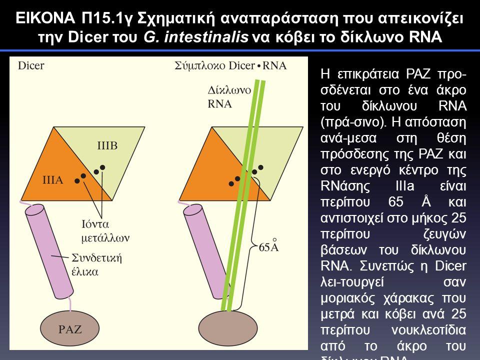 ΕΙΚΟΝΑ Π15.1γ Σχηματική αναπαράσταση που απεικονίζει την Dicer του G.