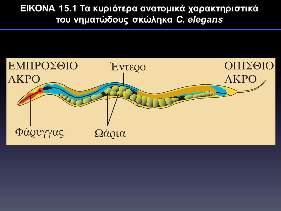ΕΙΚΟΝΑ 15.1 Τα κυριότερα ανατομικά χαρακτηριστικά του νηματώδους σκώληκα C. elegans