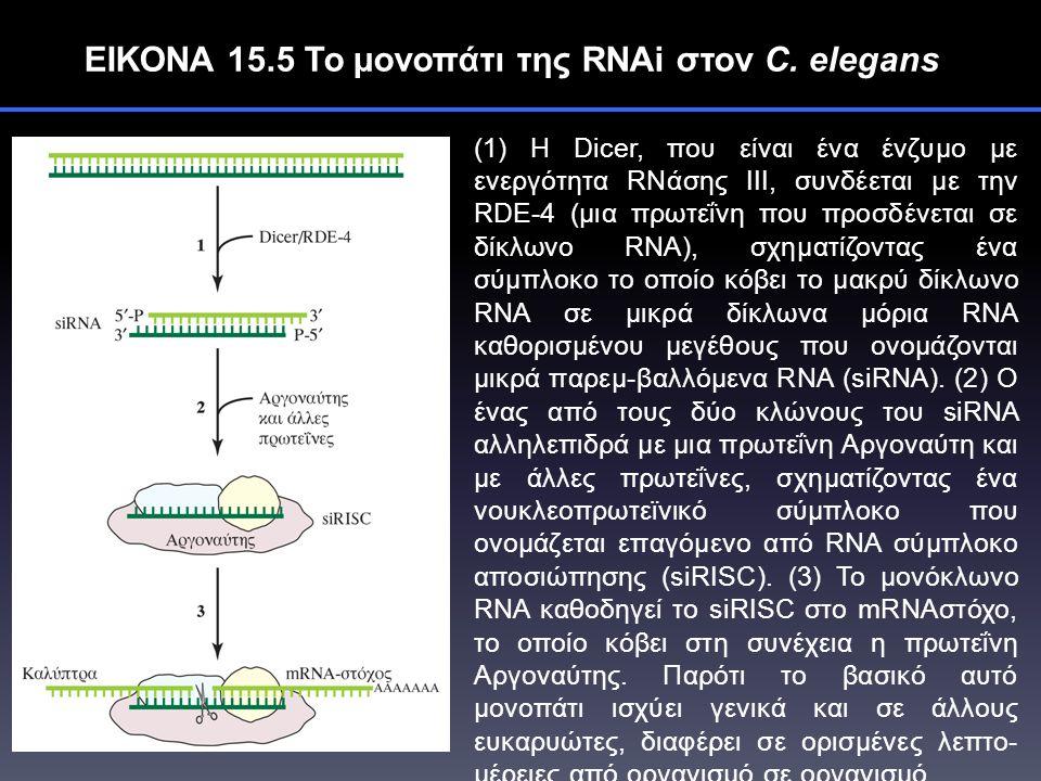 ΕΙΚΟΝΑ 15.5 Το μονοπάτι της RNAi στον C.