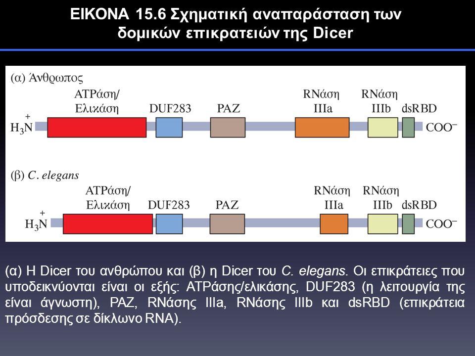 ΕΙΚΟΝΑ 15.6 Σχηματική αναπαράσταση των δομικών επικρατειών της Dicer (α) Η Dicer του ανθρώπου και (β) η Dicer του C.