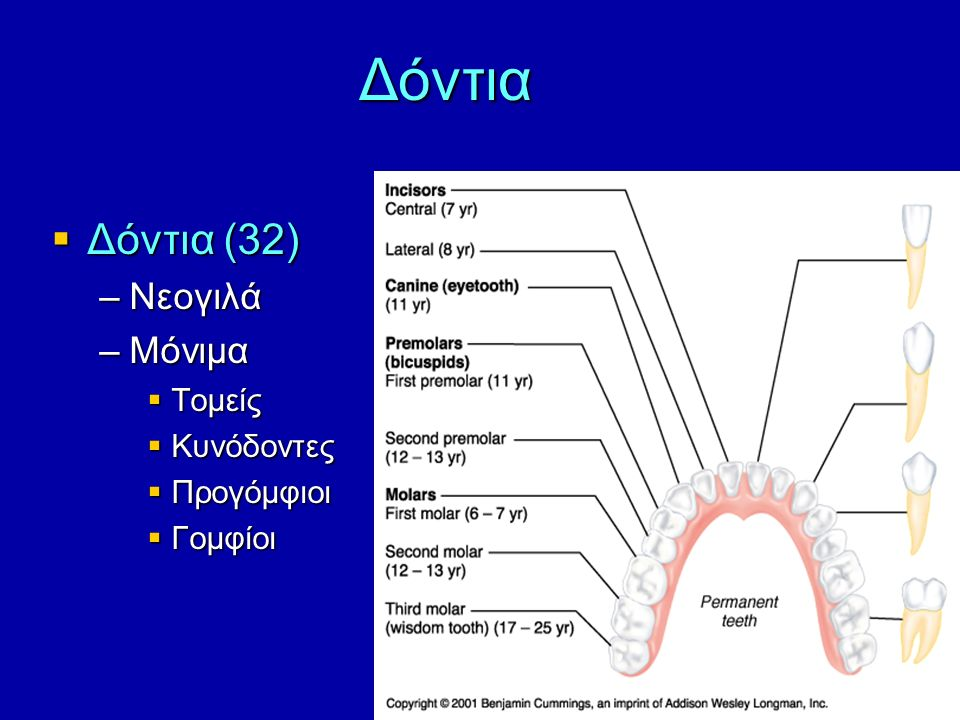 Δόντια  Δόντια (32) –Νεογιλά –Μόνιμα  Τομείς  Κυνόδοντες  Προγόμφιοι  Γομφίοι