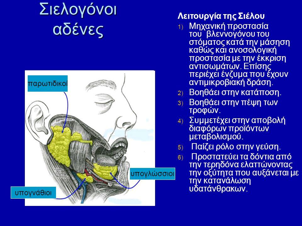Σιελογόνοι αδένες παρωτιδικοί υπογλώσσιοι υπογνάθιοι Λειτουργία της Σιέλου 1) Μηχανική προστασία του βλεννογόνου του στόματος κατά την μάσηση καθώς και ανοσολογική προστασία με την έκκριση αντισωμάτων.