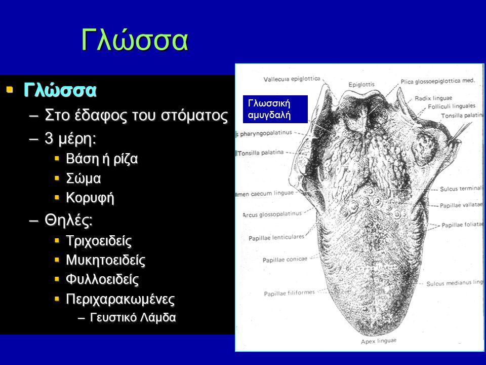  Γλώσσα –Στο έδαφος του στόματος –3 μέρη:  Βάση ή ρίζα  Σώμα  Κορυφή –Θηλές:  Τριχοειδείς  Μυκητοειδείς  Φυλλοειδείς  Περιχαρακωμένες –Γευστικό Λάμδα Γλώσσα Γλωσσική αμυγδαλή