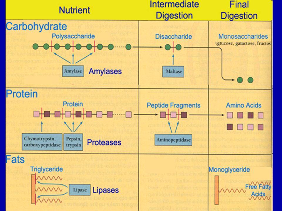 Κύτταρα στομάχου - εκκρίσεις  Κύρια κύτταρα –Πεψινογόνο – πεψίνη  Καλυπτήρια (Τοιχωματικά) –Γαστρικό οξύ  Βλεννώδη κύτταρα –Βλέννη –Ενδογενής παράγοντας  G-κύτταρα –Γαστρίνη