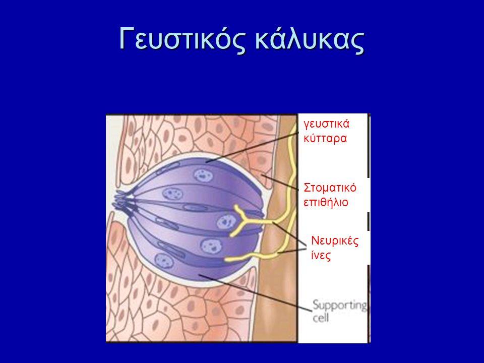 Γευστικός κάλυκας γευστικά κύτταρα Νευρικές ίνες Στοματικό επιθήλιο