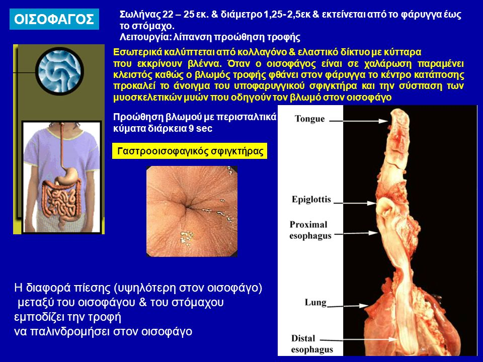 ΟΙΣΟΦΑΓΟΣ Σωλήνας 22 – 25 εκ. & διάμετρο 1,25- 2,5εκ & εκτείνεται από το φάρυγγα έως το στόμαχο.
