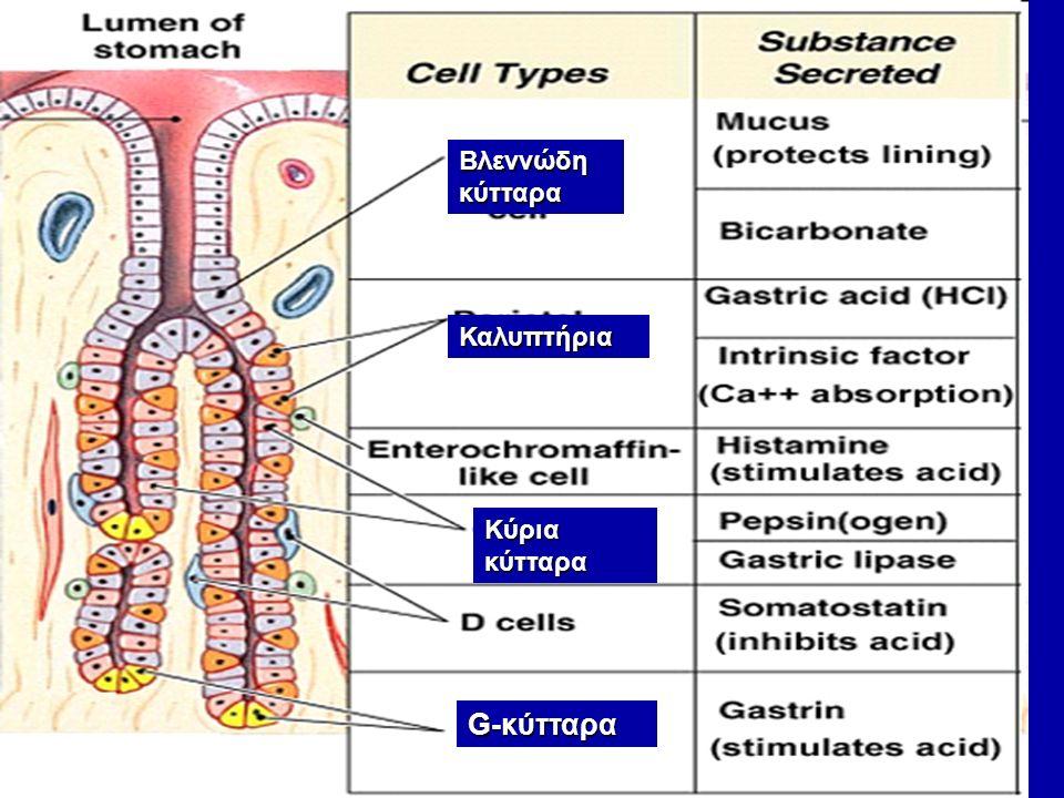 Βλεννώδη κύτταρα Καλυπτήρια Κύρια κύτταρα G-κύτταρα