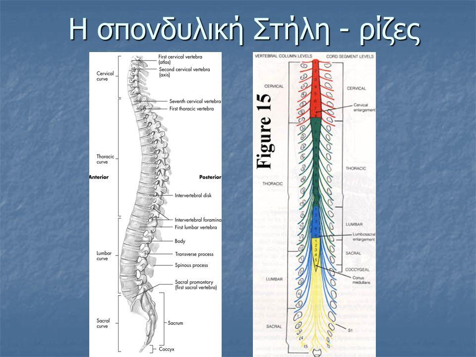 Η σπονδυλική Στήλη - ρίζες