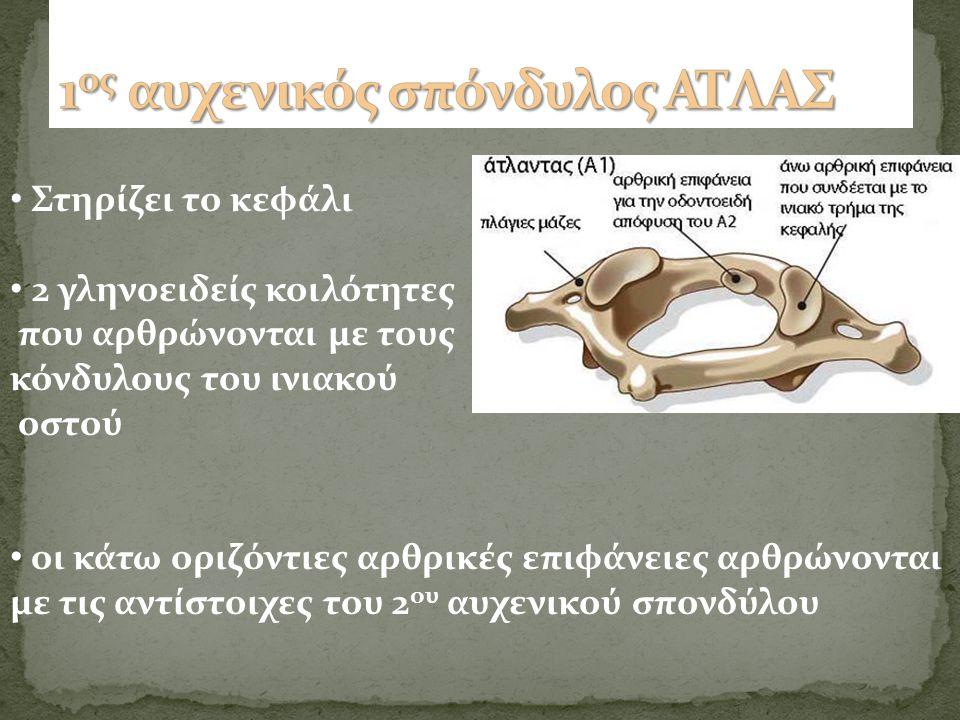 Στηρίζει το κεφάλι 2 γληνοειδείς κοιλότητες που αρθρώνονται με τους κόνδυλους του ινιακού οστού οι κάτω οριζόντιες αρθρικές επιφάνειες αρθρώνονται με τις αντίστοιχες του 2 ου αυχενικού σπονδύλου
