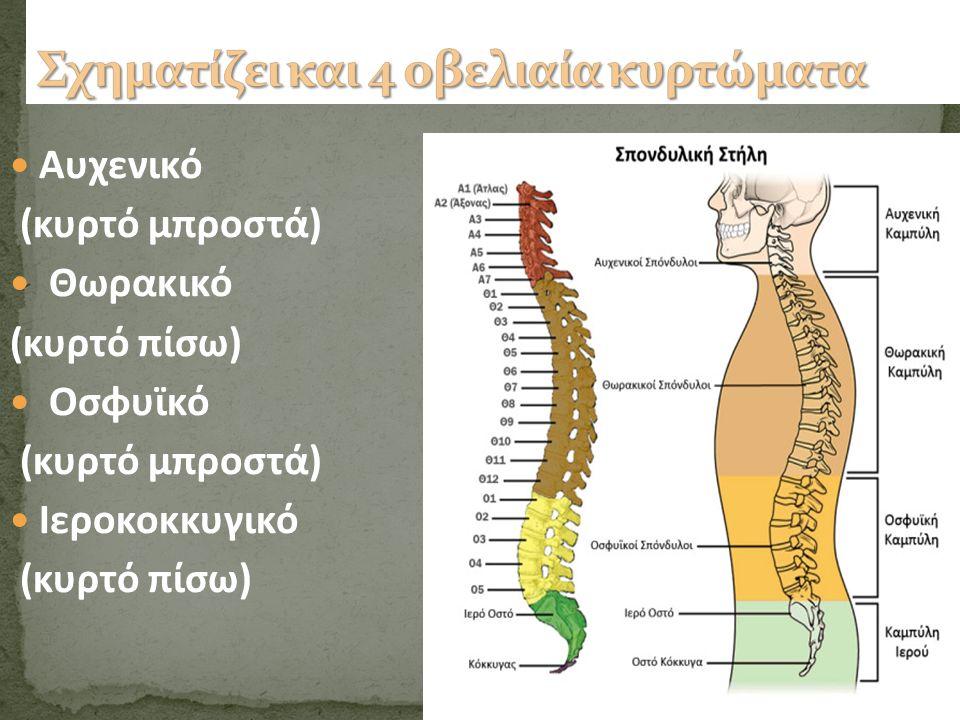 Αυχενικό (κυρτό μπροστά) Θωρακικό (κυρτό πίσω) Οσφυϊκό (κυρτό μπροστά) Ιεροκοκκυγικό (κυρτό πίσω)