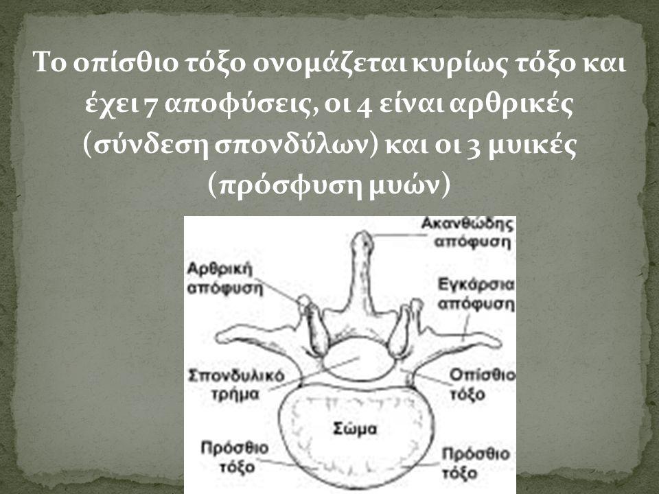 Το οπίσθιο τόξο ονομάζεται κυρίως τόξο και έχει 7 αποφύσεις, οι 4 είναι αρθρικές (σύνδεση σπονδύλων) και οι 3 μυικές (πρόσφυση μυών)
