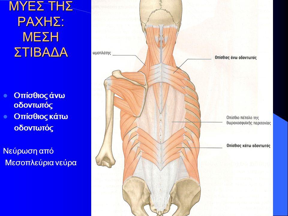 ΜΥΕΣ ΤΗΣ ΡΑΧΗΣ: ΜΕΣΗ ΣΤΙΒΑΔΑ Οπίσθιος άνω οδοντωτός Οπίσθιος κάτω οδοντωτός Νεύρωση από Μεσοπλεύρια νεύρα