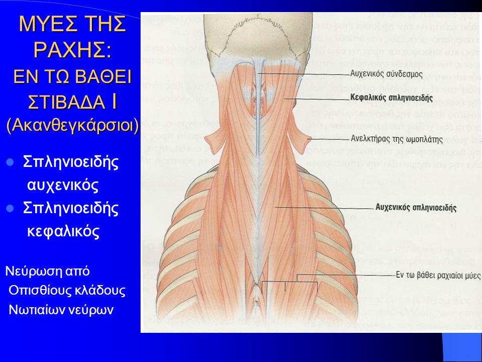 ΜΥΕΣ ΤΗΣ ΡΑΧΗΣ: ΕΝ ΤΩ ΒΑΘΕΙ ΣΤΙΒΑΔΑ Ι (Ακανθεγκάρσιοι) Σπληνιοειδής αυχενικός Σπληνιοειδής κεφαλικός Νεύρωση από Οπισθίους κλάδους Νωτιαίων νεύρων