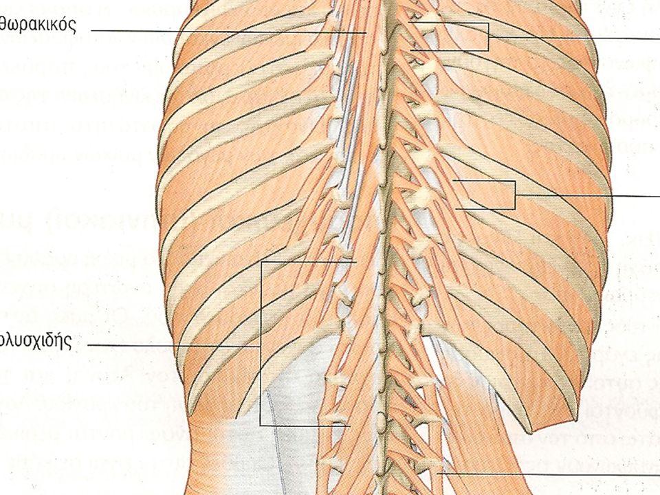 ΜΥΕΣ ΤΗΣ ΡΑΧΗΣ: ΕΝ ΤΩ ΒΑΘΕΙ ΣΤΙΒΑΔΑ ΙΙ (Ακανθεγκάρσιοι) Ημιακανθώδης (θωρακικός-κεφαλικός) 5-6 σπονδύλους πάνω Πολυσχιδής (-δείς) (οσφ.-θωρ.-αυχενικός) 2-4 σπονδύλους πάνω (Περι)Στροφείς (νώτων) (θωρ.-αυχ.-κεφαλικός) 1 (βραχύς)-2(μακρός) σπονδύλους πάνω Νεύρωση από Οπισθίους κλάδους Νωτιαίων νεύρων