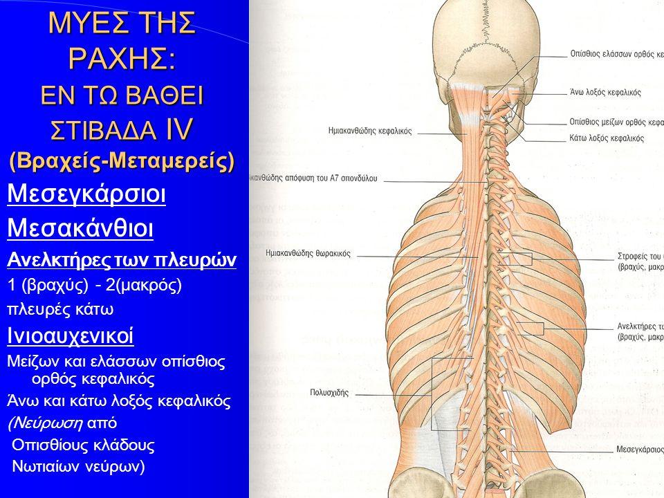 ΜΥΕΣ ΤΗΣ ΡΑΧΗΣ: ΕΝ ΤΩ ΒΑΘΕΙ ΣΤΙΒΑΔΑ ΙV (Βραχείς-Μεταμερείς) Μεσεγκάρσιοι Μεσακάνθιοι Ανελκτήρες των πλευρών 1 (βραχύς) - 2(μακρός) πλευρές κάτω Ινιοαυ