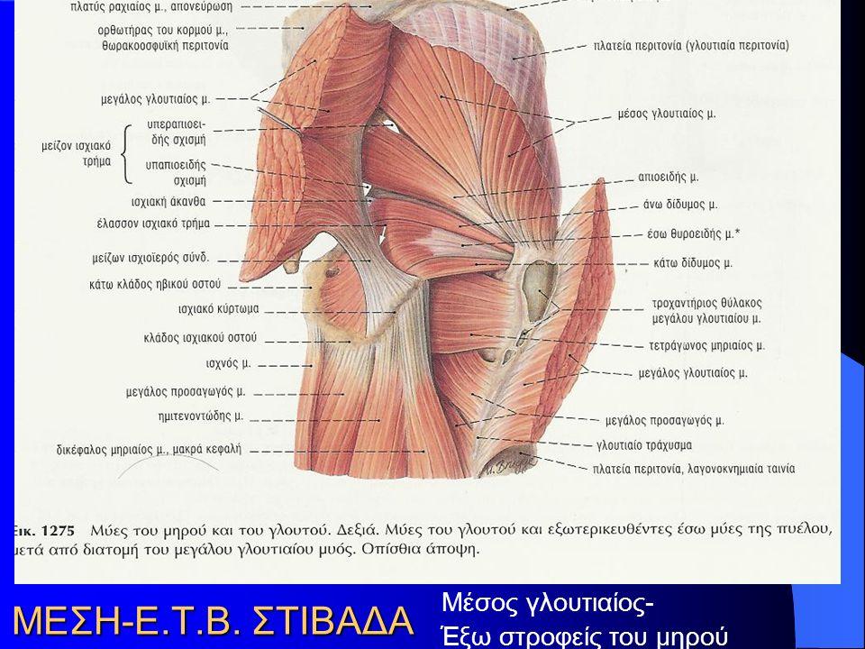 ΜΕΣΗ-Ε.Τ.Β. ΣΤΙΒΑΔΑ Μέσος γλουτιαίος- Έξω στροφείς του μηρού