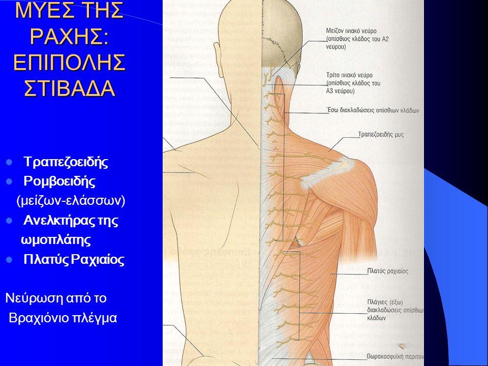 ΜΥΕΣ ΤΗΣ ΡΑΧΗΣ: ΕΝ ΤΩ ΒΑΘΕΙ ΣΤΙΒΑΔΑ ΙV (Βραχείς-Μεταμερείς) Μεσεγκάρσιοι Μεσακάνθιοι Ανελκτήρες των πλευρών 1 (βραχύς) - 2(μακρός) πλευρές κάτω Ινιοαυχενικοί Μείζων και ελάσσων οπίσθιος ορθός κεφαλικός Άνω και κάτω λοξός κεφαλικός (Νεύρωση από Οπισθίους κλάδους Νωτιαίων νεύρων)