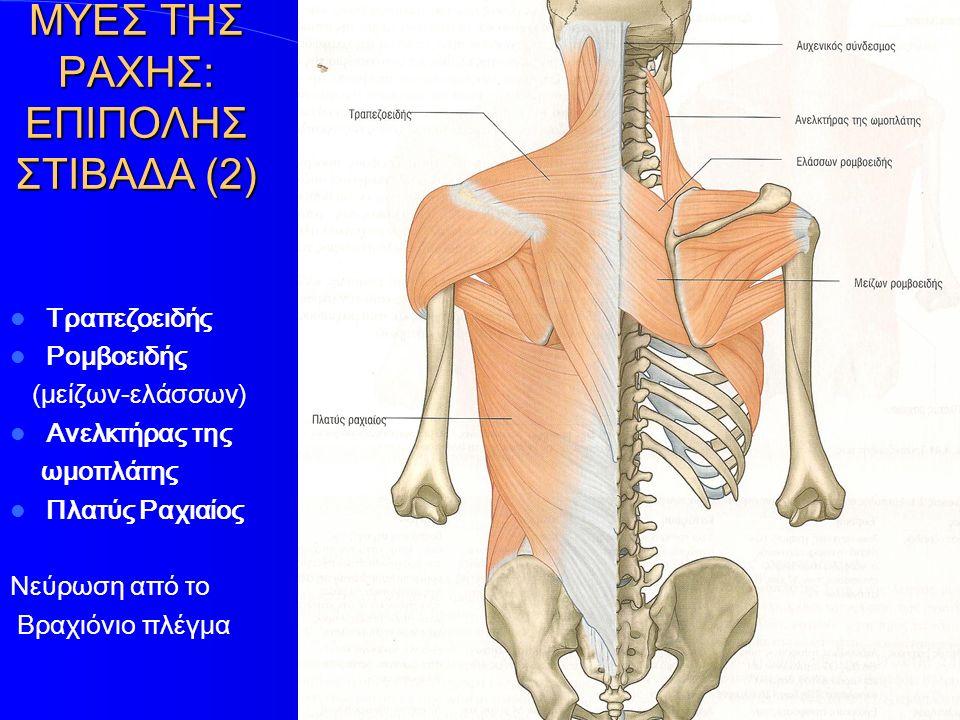 ΜΥΕΣ ΤΗΣ ΡΑΧΗΣ: ΕΠΙΠΟΛΗΣ ΣΤΙΒΑΔΑ (3) Τραπεζοειδής Ρομβοειδής (μείζων-ελάσσων) Ανελκτήρας της ωμοπλάτης Πλατύς Ραχιαίος Νεύρωση από το Βραχιόνιο πλέγμα