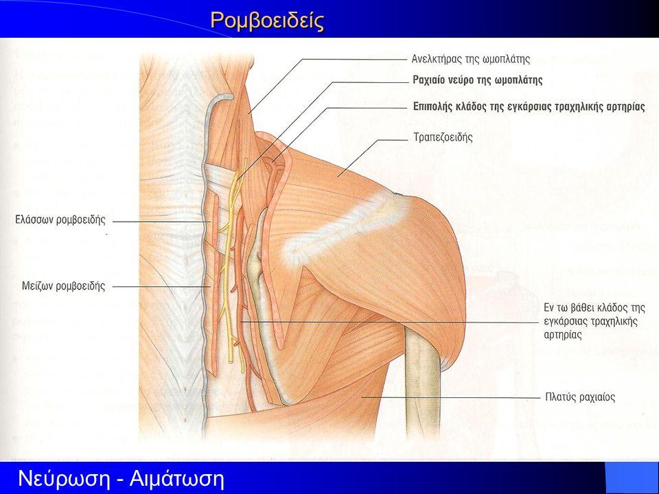Ρομβοειδείς Νεύρωση - Αιμάτωση