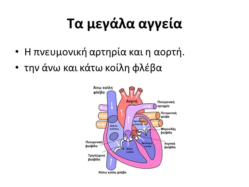 Τα μεγάλα αγγεία Η πνευμονική αρτηρία και η αορτή. την άνω και κάτω κοίλη φλέβα