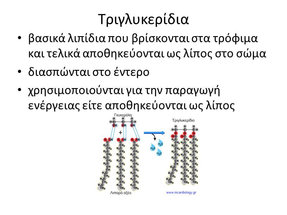 Τριγλυκερίδια βασικά λιπίδια που βρίσκονται στα τρόφιμα και τελικά αποθηκεύονται ως λίπος στο σώμα διασπώνται στο έντερο χρησιμοποιούνται για την παραγωγή ενέργειας είτε αποθηκεύονται ως λίπος