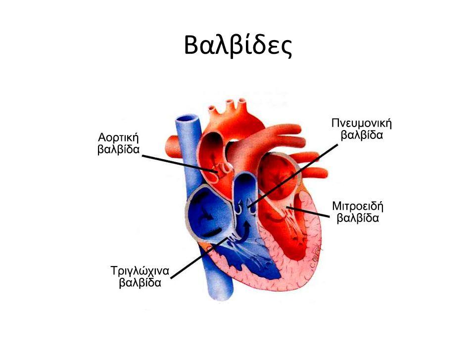 Κατά τη συστολή των κοιλιών: αυξάνει η πίεση στις κοιλίες και εξωθείται το αίμα προς τα μεγάλα αγγεία (αορτή, πνευμονική αρτηρία).