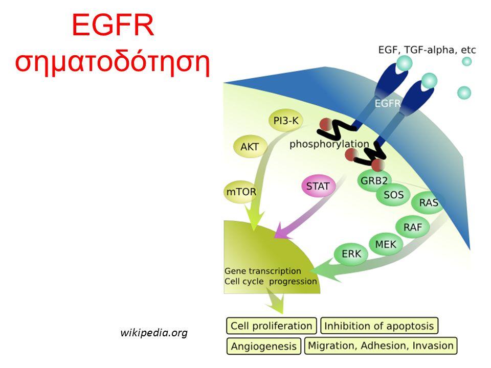 EGFR σηματοδότηση wikipedia.org