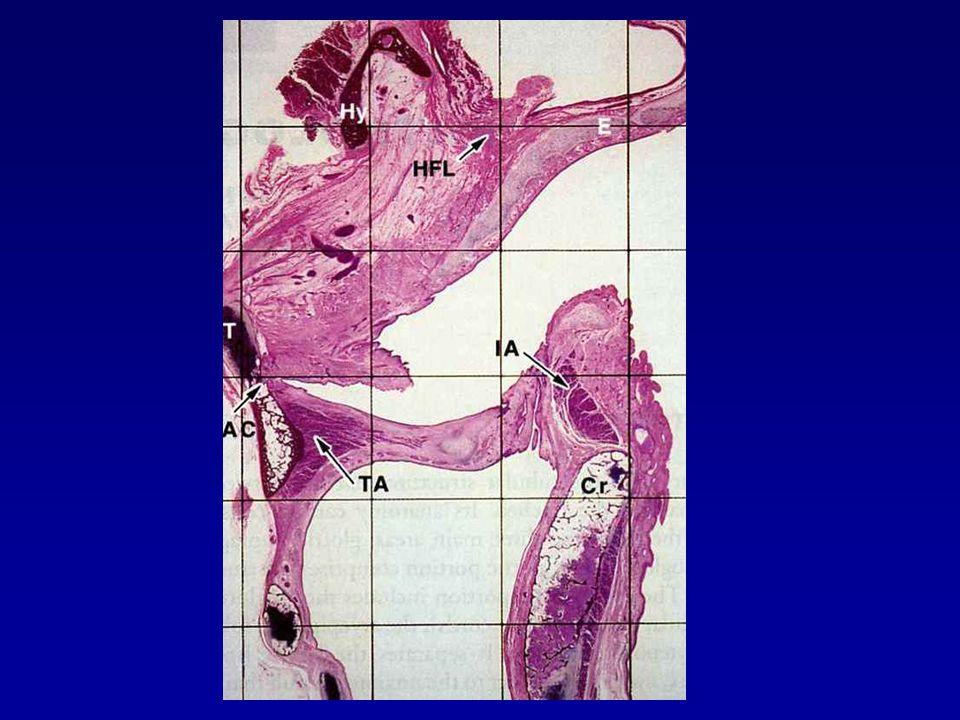 Βασική ιστολογία Δεν έχει ομοιογενή επιθηλιακή επικάλυψη Επιγλωττίδα: πολύστιβο πλακώδες επιθήλιο όπως αυτό της στοματικής κοιλότητας με παρουσία τροποποιημένων σιελογόνων αδένων υποεπιθηλιακά Νόθες φωνηικές χορδές: κυλινδρικό κροσσωτό επιθήλιο με προεξάρχουσα παρουσία υποβλεννογόνιων τροποποιημένων σιελογόνων αδένων Γνήσιες φωνητικές χορδές: πολύστιβο πλακώδες επιθήλιο με ελάχιστους ή καθόλου υποβλεννογόνιους αδένες