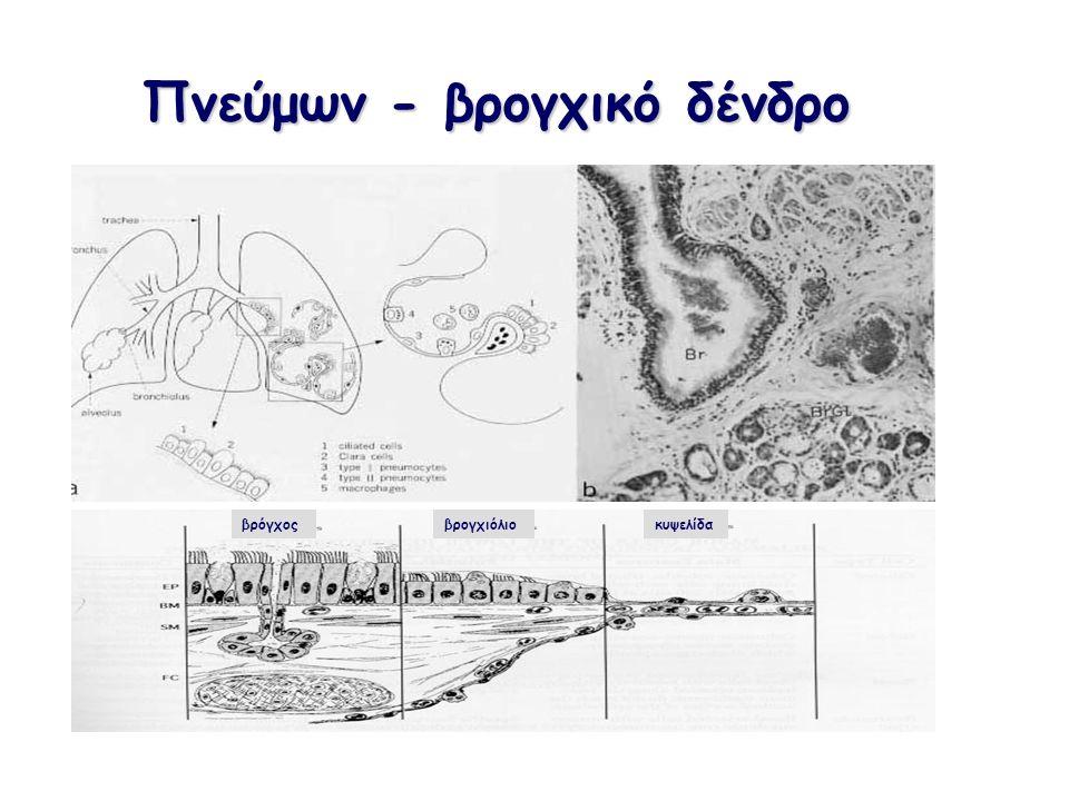Πνεύμων - βρογχικό δένδρο βρόγχοςβρογχιόλιοκυψελίδα