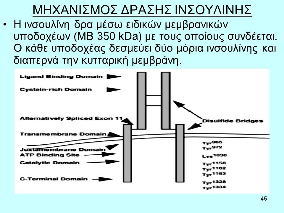 45 ΜΗΧΑΝΙΣΜΟΣ ΔΡΑΣΗΣ ΙΝΣΟΥΛΙΝΗΣ H ινσουλίνη δρα µέσω ειδικών μεμβρανικών υποδοχέων (ΜΒ 350 kDa) µε τους οποίους συνδέεται.