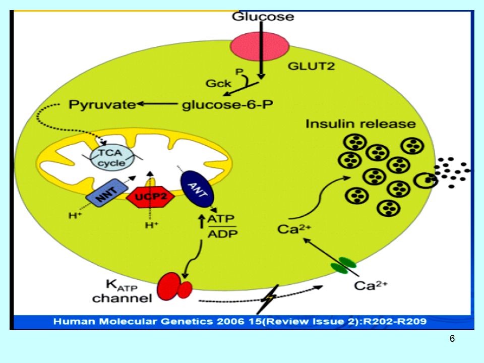 27 ΕΚΚΡΙΣΗ ΙΝΣΟΥΛΙΝΗΣ - ΑΛΛΕΣ ΟΡΜΟΝΕΣ Επίσης οι ορμόνες γλυκαγόνη, ACTH, GH, σεκρετίνη, γαστρίνη, χολοκυστοκινίνη (CCK) και παγκρεοζυµίνη αυξάνουν έµµεσα ή άμεσα την έκκριση ινσουλίνης.