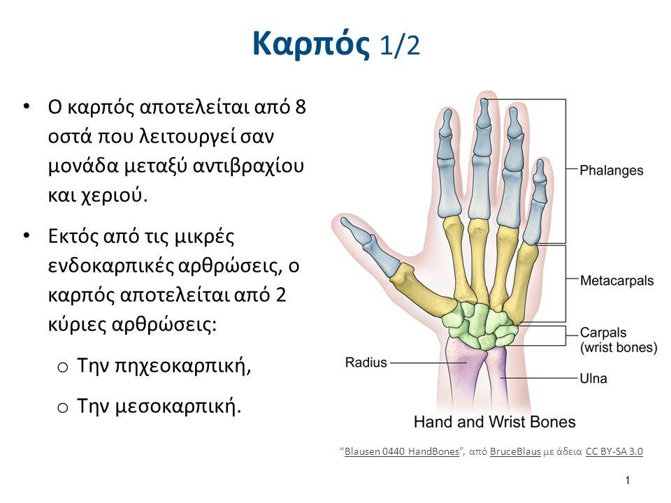 Καρπός 1/2 Ο καρπός αποτελείται από 8 οστά που λειτουργεί σαν μονάδα μεταξύ αντιβραχίου και χεριού. Εκτός από τις μικρές ενδοκαρπικές αρθρώσεις, ο καρ