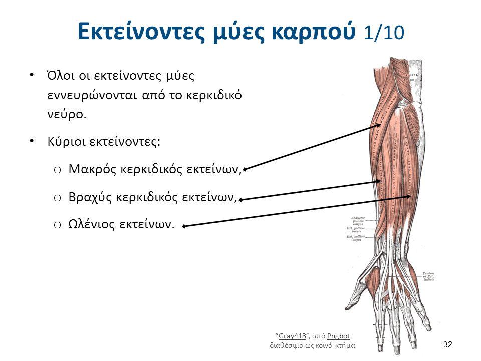 Εκτείνοντες μύες καρπού 1/10 Όλοι οι εκτείνοντες μύες εννευρώνονται από το κερκιδικό νεύρο. Κύριοι εκτείνοντες: o Μακρός κερκιδικός εκτείνων, o Βραχύς