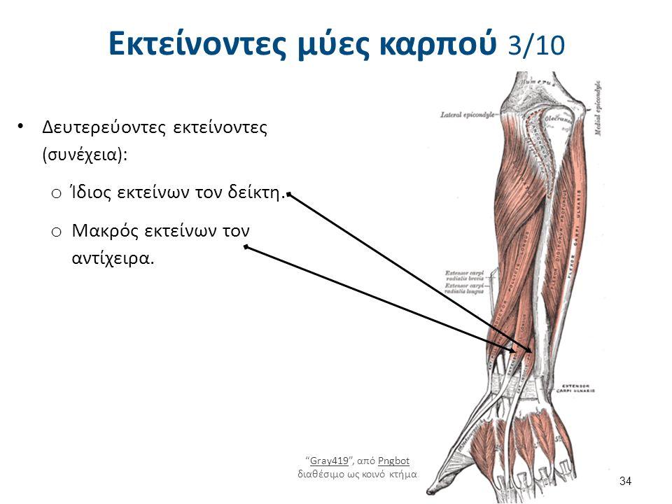 """Εκτείνοντες μύες καρπού 3/10 Δευτερεύοντες εκτείνοντες (συνέχεια) : o Ίδιος εκτείνων τον δείκτη. o Μακρός εκτείνων τον αντίχειρα. 34 """"Gray419"""", από Pn"""