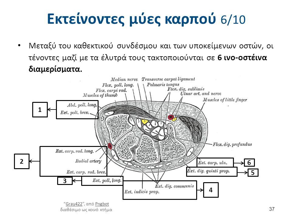 Εκτείνοντες μύες καρπού 6/10 Μεταξύ του καθεκτικού συνδέσμου και των υποκείμενων οστών, οι τένοντες μαζί με τα έλυτρά τους τακτοποιούνται σε 6 ινο-οστ