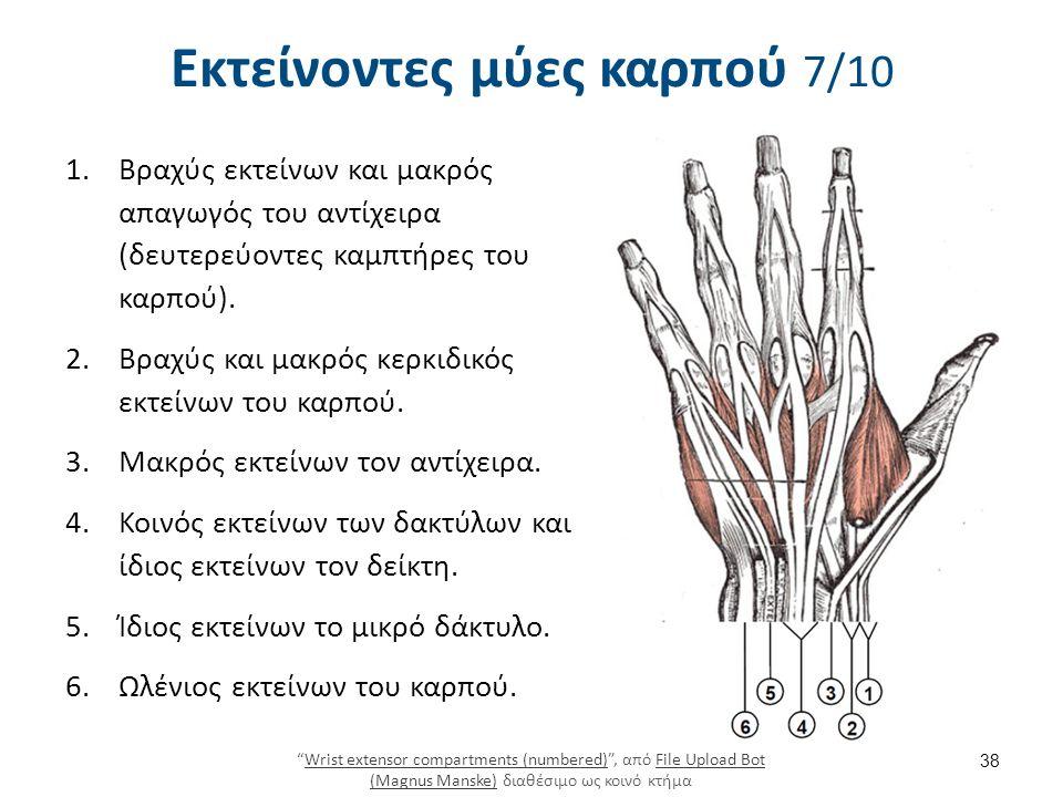 Εκτείνοντες μύες καρπού 7/10 1.Βραχύς εκτείνων και μακρός απαγωγός του αντίχειρα (δευτερεύοντες καμπτήρες του καρπού). 2.Βραχύς και μακρός κερκιδικός