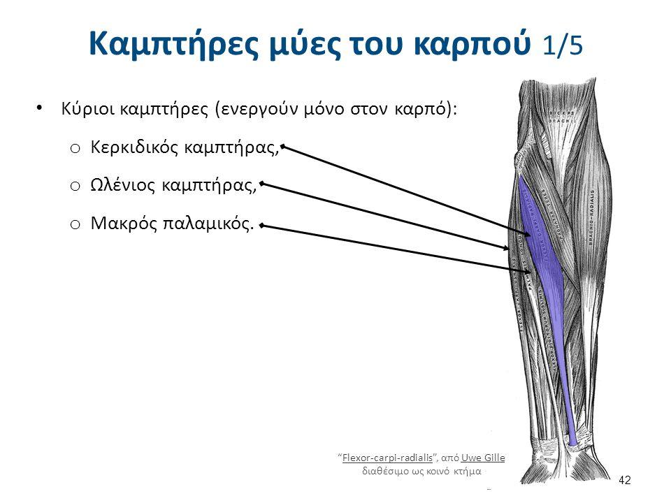 """Καμπτήρες μύες του καρπού 1/5 Κύριοι καμπτήρες (ενεργούν μόνο στον καρπό): o Κερκιδικός καμπτήρας, o Ωλένιος καμπτήρας, o Μακρός παλαμικός. 42 """"Flexor"""