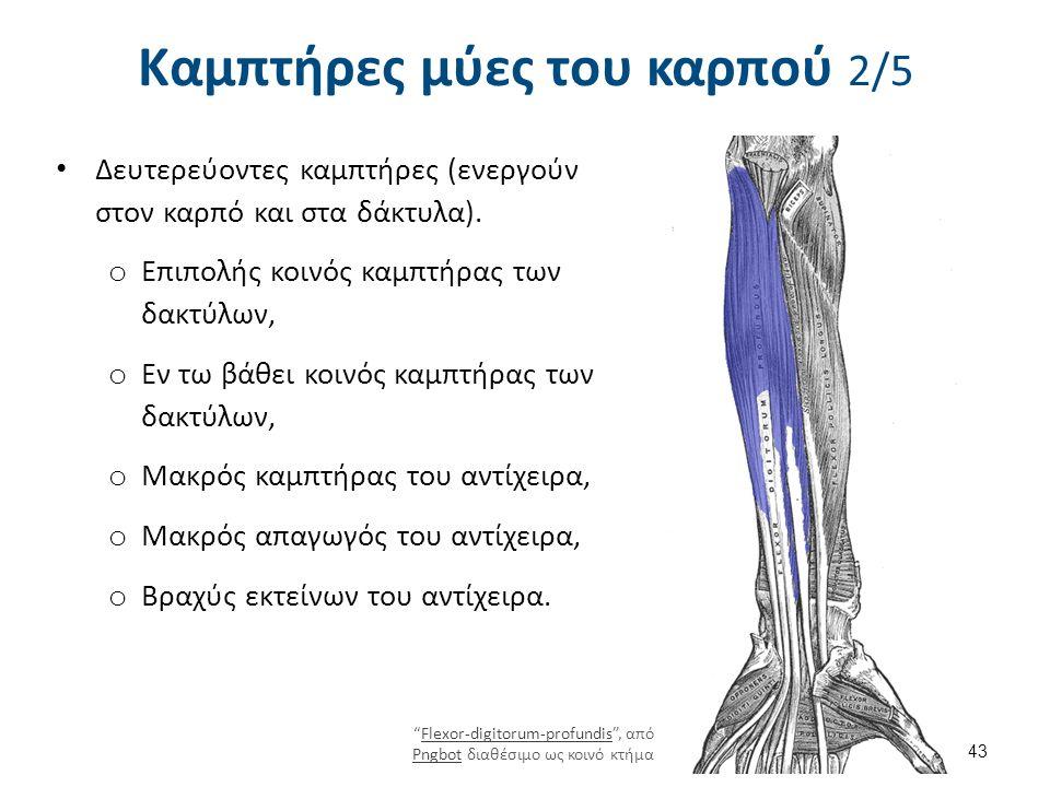 Καμπτήρες μύες του καρπού 2/5 Δευτερεύοντες καμπτήρες (ενεργούν στον καρπό και στα δάκτυλα). o Επιπολής κοινός καμπτήρας των δακτύλων, o Εν τω βάθει κ