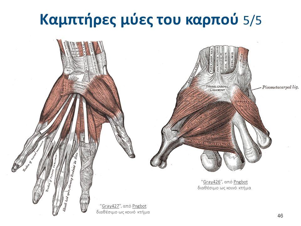 """Καμπτήρες μύες του καρπού 5/5 46 """"Gray427"""", από Pngbot διαθέσιμο ως κοινό κτήμαGray427Pngbot """"Gray426"""", από Pngbot διαθέσιμο ως κοινό κτήμαGray426Pngb"""