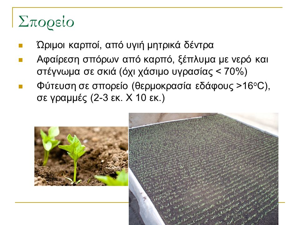 Σπορείο Ώριμοι καρποί, από υγιή μητρικά δέντρα Αφαίρεση σπόρων από καρπό, ξέπλυμα με νερό και στέγνωμα σε σκιά (όχι χάσιμο υγρασίας < 70%) Φύτευση σε σπορείο (θερμοκρασία εδάφους >16 ο C), σε γραμμές (2-3 εκ.