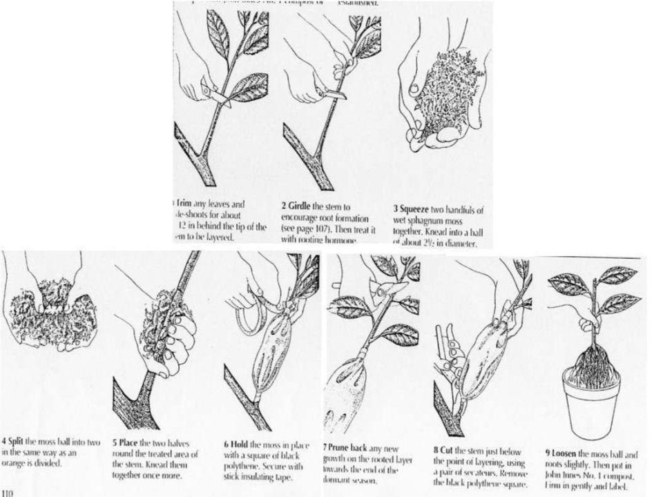 7) Γλυκολιμετία (Sweet lime) για την ποικιλία Jaffa (Shamοuti) Αντοχή σε Κορυφοξήρα (για Αδαμοπούλου και Βακάλου) Καλή ποσότητα και ποιότητα καρπών, πρωίμηση Ευαίσθητο σε ιώσεις Τριστέτσα, ξυλοπόρωση, εξώκορτη Θέλει εδάφη αμμώδη και ελαφρά
