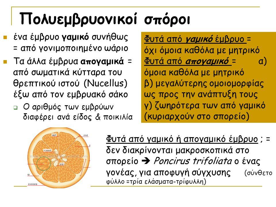 ένα έμβρυο γαμικό συνήθως = από γονιμοποιημένο ωάριο Τα άλλα έμβρυα απογαμικά = από σωματικά κύτταρα του θρεπτικού ιστού (Nucellus) έξω από τον εμβρυακό σάκο  Ο αριθμός των εμβρύων διαφέρει ανά είδος & ποικιλία Πολυεμβρυονικοί σπόροι Φυτά από γαμικό έμβρυο = όχι όμοια καθόλα με μητρικό Φυτά από απογαμικό = α) όμοια καθόλα με μητρικό β) μεγαλύτερης ομοιομορφίας ως προς την ανάπτυξη τους γ) ζωηρότερα των από γαμικό (κυριαρχούν στο σπορείο) Φυτά από γαμικό ή απογαμικό έμβρυο ; = δεν διακρίνονται μακροσκοπικά στο σπορείο  Poncirus trifoliata ο ένας γονέας, για αποφυγή σύγχυσης (σύνθετο φύλλο =τρία ελάσματα-τρίφυλλη)