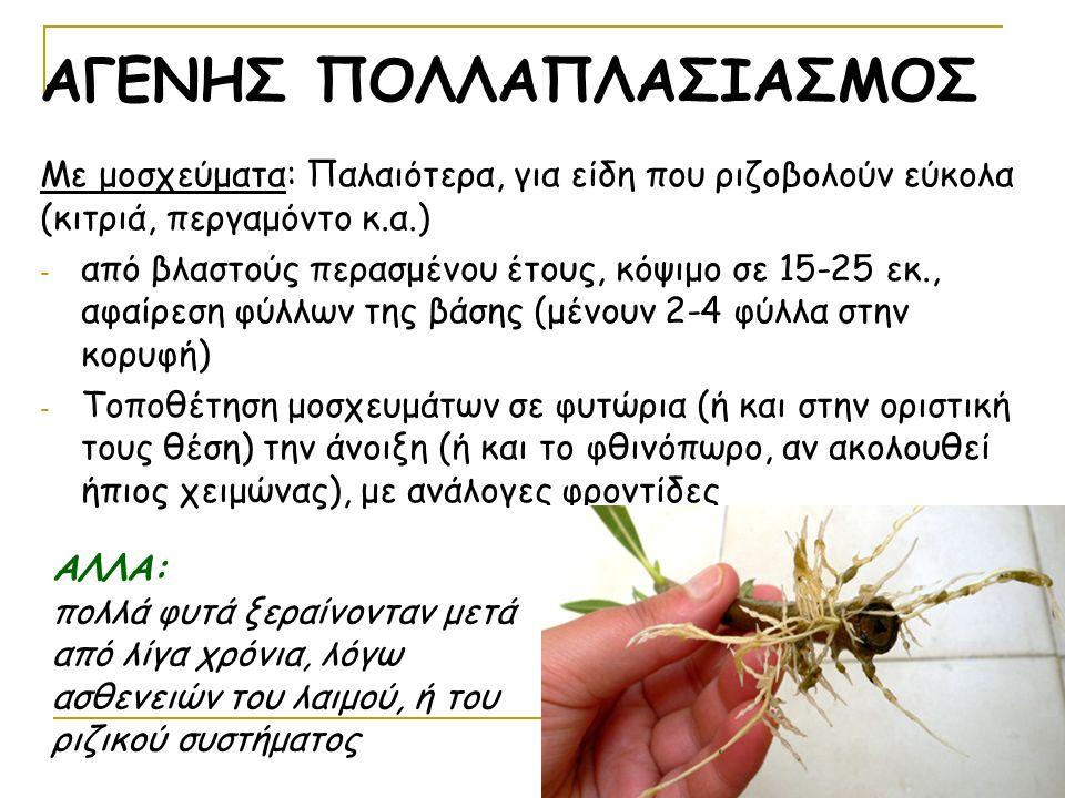 Με μοσχεύματα: Παλαιότερα, για είδη που ριζοβολούν εύκολα (κιτριά, περγαμόντο κ.α.) - από βλαστούς περασμένου έτους, κόψιμο σε 15-25 εκ., αφαίρεση φύλλων της βάσης (μένουν 2-4 φύλλα στην κορυφή) - Τοποθέτηση μοσχευμάτων σε φυτώρια (ή και στην οριστική τους θέση) την άνοιξη (ή και το φθινόπωρο, αν ακολουθεί ήπιος χειμώνας), με ανάλογες φροντίδες ΑΓΕΝΗΣ ΠΟΛΛΑΠΛΑΣΙΑΣΜΟΣ ΑΛΛΑ: πολλά φυτά ξεραίνονταν μετά από λίγα χρόνια, λόγω ασθενειών του λαιμού, ή του ριζικού συστήματος
