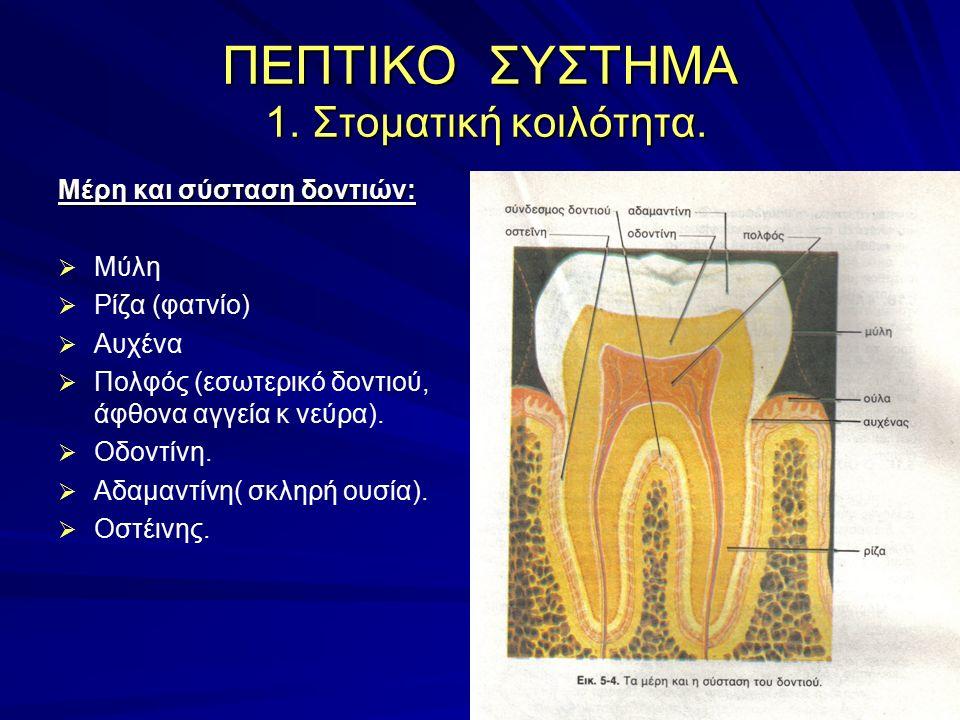 ΠΕΠΤΙΚΟ ΣΥΣΤΗΜΑ 1. Στοματική κοιλότητα. Μέρη και σύσταση δοντιών:   Μύλη   Ρίζα (φατνίο)   Αυχένα   Πολφός (εσωτερικό δοντιού, άφθονα αγγεία κ