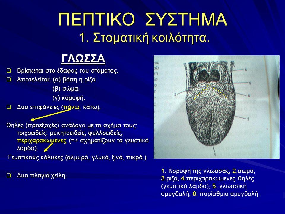 ΓΛΩΣΣΑ  Βρίσκεται στο έδαφος του στόματος.  Αποτελείται: (α) βάση η ρίζα (β) σώμα. (β) σώμα. (γ) κορυφή. (γ) κορυφή.  Δυο επιφάνειες (πάνω, κάτω).