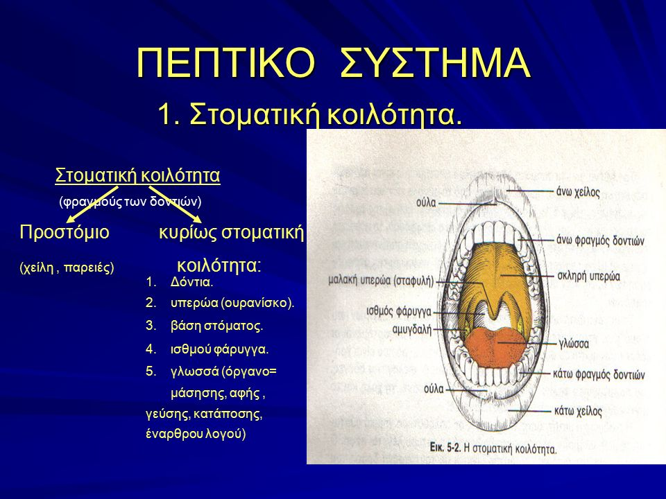 1. Στοματική κοιλότητα. 1. Στοματική κοιλότητα. ΠΕΠΤΙΚΟ ΣΥΣΤΗΜΑ Στοματική κοιλότητα (φραγμούς των δοντιών) Προστόμιο κυρίως στοματική (χείλη, παρειές)